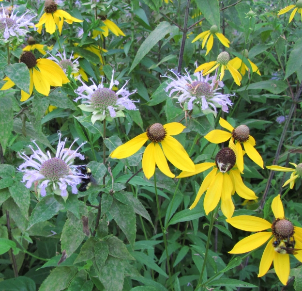 Bees with bergamot and coneflower