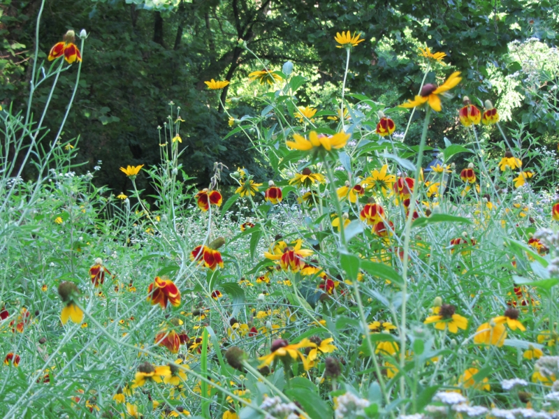 Mexican hat and coneflower