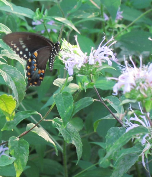 Pipevine swallowtail?