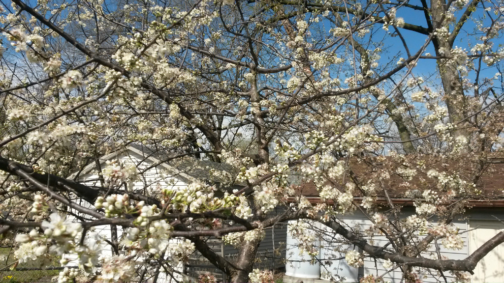 What S Blooming In My Yard Mexican Plum Wild Ones St