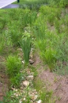 2010 site - close-up of plants in swale