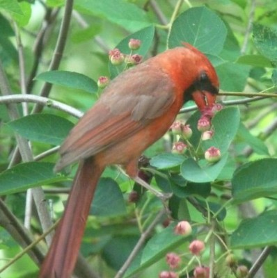 Male northern cardinal eating serviceberries