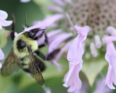Bumble bee pollinating a Monarda flower