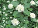 Ninebark (Physocarpus opulifolius) flowers