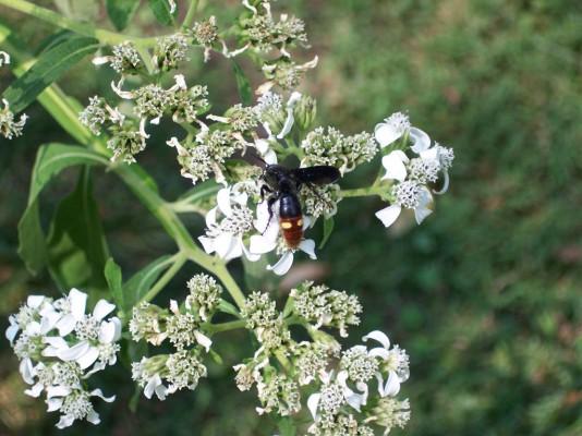 Crownbeard - Verbesina virginica in bloom