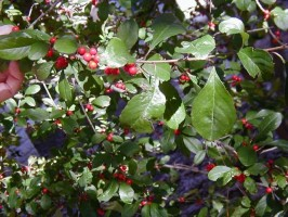 Deciduous holly leaves and berries