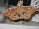 Polyphemus moth adult