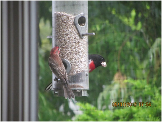 Male house finch and rose-breasted-grosbeak
