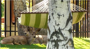 White-tailed deer resting by a backyard hammock