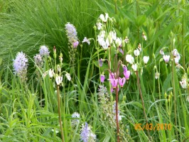 Wild Hyacinth (Camassia scilloides) and Shooting Star (Dodecatheon meadia) in flower