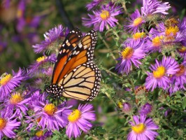 Monarch butterfly sipping nectar from a New England Aster.