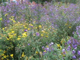Purple asters and yellow goldenrods in the Hummel prairie