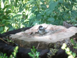 chickadee in bird bubbler