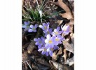 Pale purple crocus in bloom