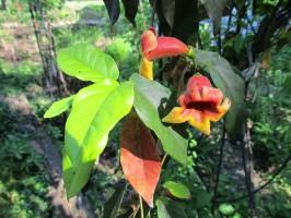 Flowers on an unidentified vine