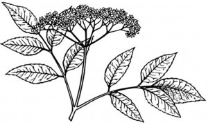 Drawing of elderberry leaves and berries