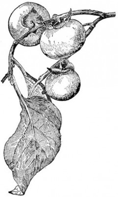 Drawing of persimmon fruits and leaves