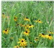 Black Eyed Susan and River Oats