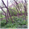 Wild Plum trees and Spring Wildflowers
