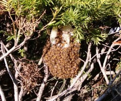 Bee hive found in a backyard hedge