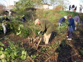 Wild Ones removing invasive honeysuckle bushes in Forest Park