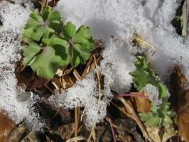 Columbine green leaves in snow
