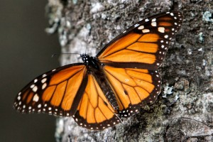 Solitary monarch butterfly on a tree trunk in Mexico