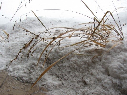 Dried grass with seeds in snow