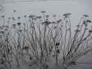 Group of saucer-like seedheads in snow