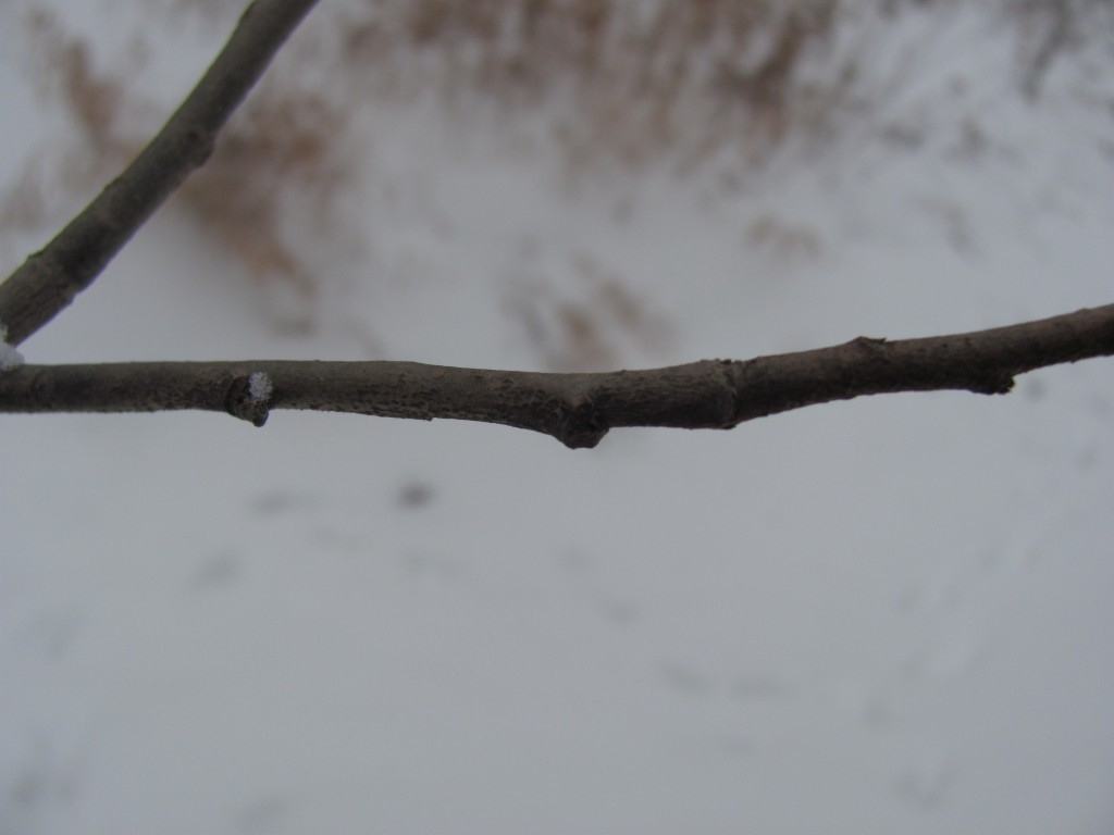 Bare branch with bud