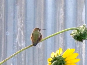A broad-tailed hummingbird rests on the stem of a wild sunflower (Helianthus annuus) on a cold September morning. (Photo: Susan J. Tweit)