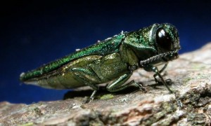 Close-up of an emerald ash borer