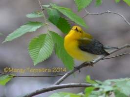 Prothonotary warbler, photo by Margy Terpstra
