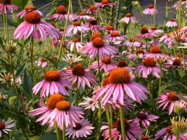 Purple coneflowers in bloom - photo courtesy of Missouri Botanical Garden