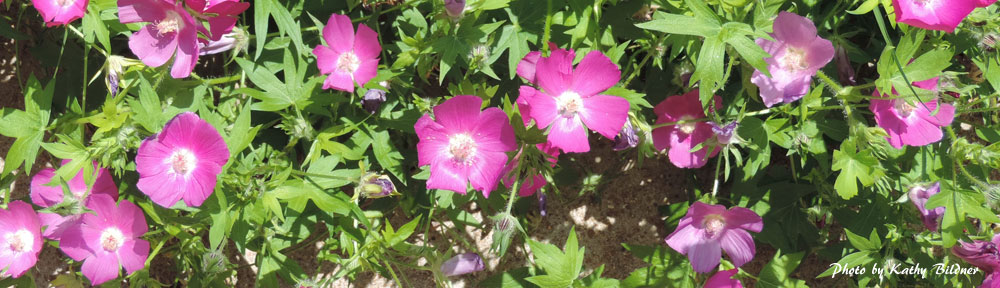 Poppy mallow flowers - photo by Kathy Bildner