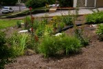 Cardinal flower and other native plants in a rain garden