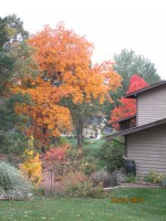 Fall scene with Hickory, Red Maple, Paw Paw and Serviceberry
