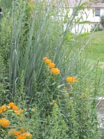 Little Bluestem, Butterfly Milkweed in bloom, Goldenrod in bud