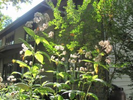 Joe Pye weed in late summer with seedheads backlit by sun
