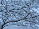 Pagoda Dogwood with heavy snow