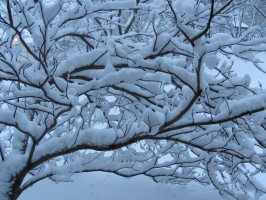Pagoda Dogwood with heavy snow
