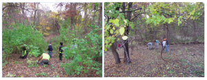 View of area before and after honeysuckle removal