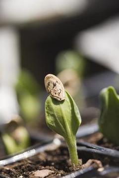 Young plant after emerging from seed