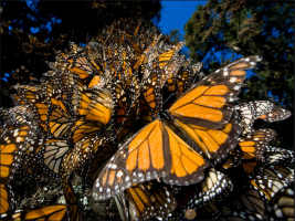 Hundreds of monarchs cover a tree trunk as they overwinter in Mexico