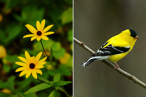 Black-eyed Susan flowers and goldfinch - photos by Doug Tallamy
