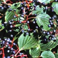 Pagoda Dogwood Berries
