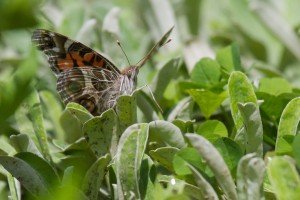 American Lady butterfly on Prairie Pussytoes
