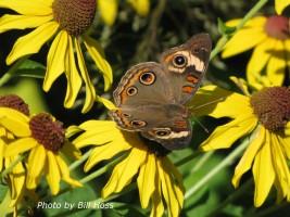 Buckeye butterfly on sweet coneflower