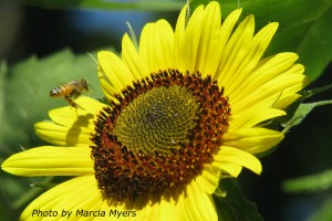 Sunflower-Bee-Photo-Marcia-Myers