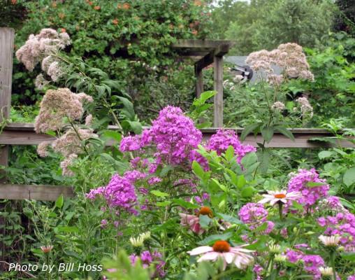 Garden phlox (Phlox paniculata), Joe pye weed (Eutrochium purpureum), and purple coneflower (Echinacea purpurea)